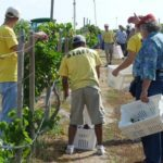 Harvesting Grapes at Messina Hof for Texas Wine