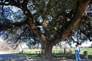 San Saba - Wedding Oak tree