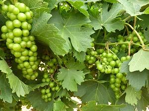 High Plains Vineyards - grapes