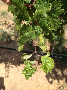 2,4-D grape leaf damage