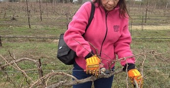 Pruning - in the vineyard