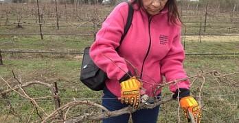 Pruning - in the vineyard