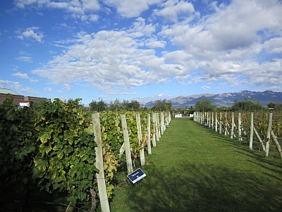 Vineyard at Alta Vista