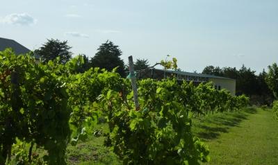 Moravia Vineyard & Winery - vineyard