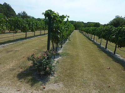 Mitas Hill - vineyard