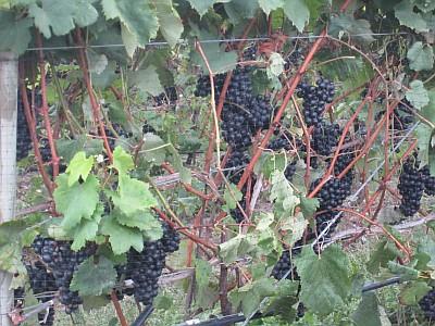 Red Tail Ridge - grapes