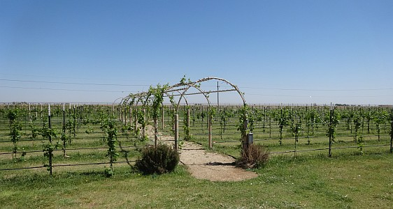 CapRock Winery vineyard