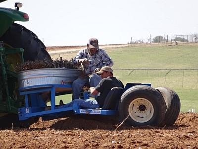 Seaton planting