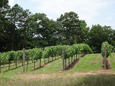 Grand Oaks Vineyard