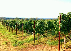 William Chris vineyard