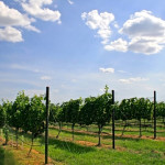 Texas Hill Country Wineries host first Grower Field Day of 2015