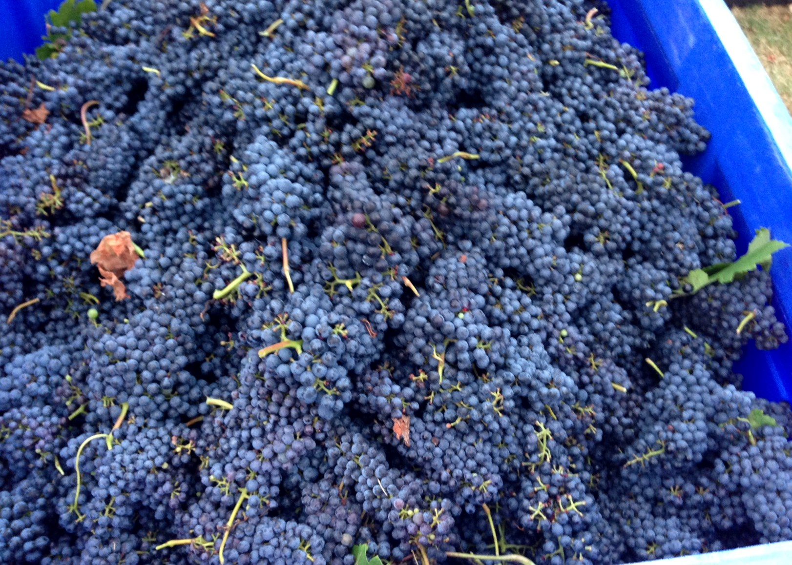 Grapes in Harvest Bin