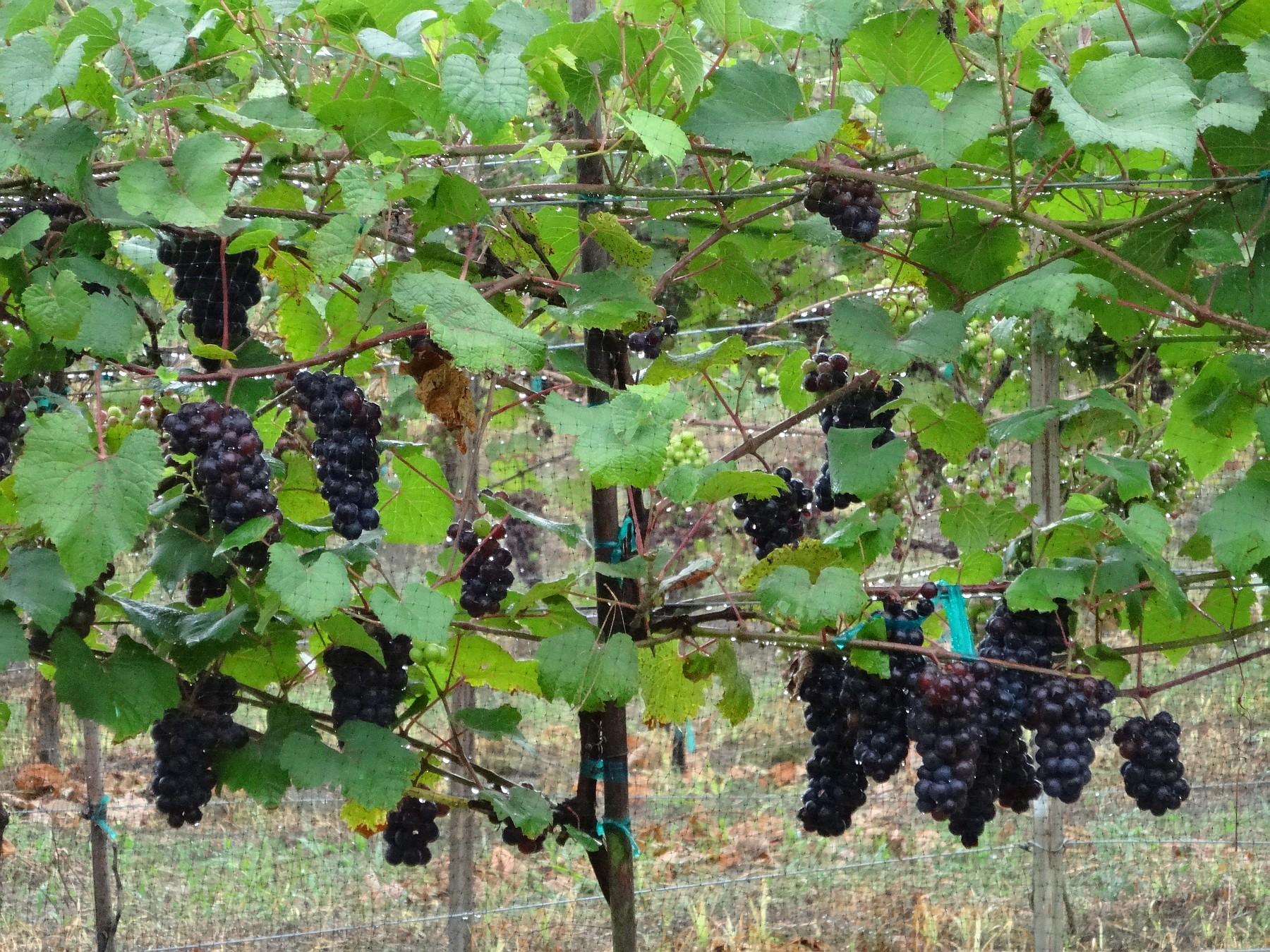 Fairhaven Vineyards Lomanto