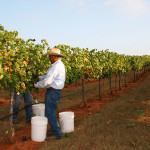 Texas Fine Wine Predicts 2015 Harvest to be Banner Year