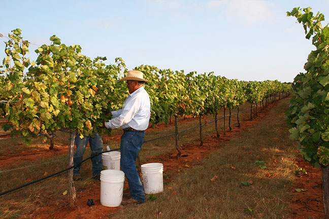 Pedernales Cellars Tempranillo harvest 2015