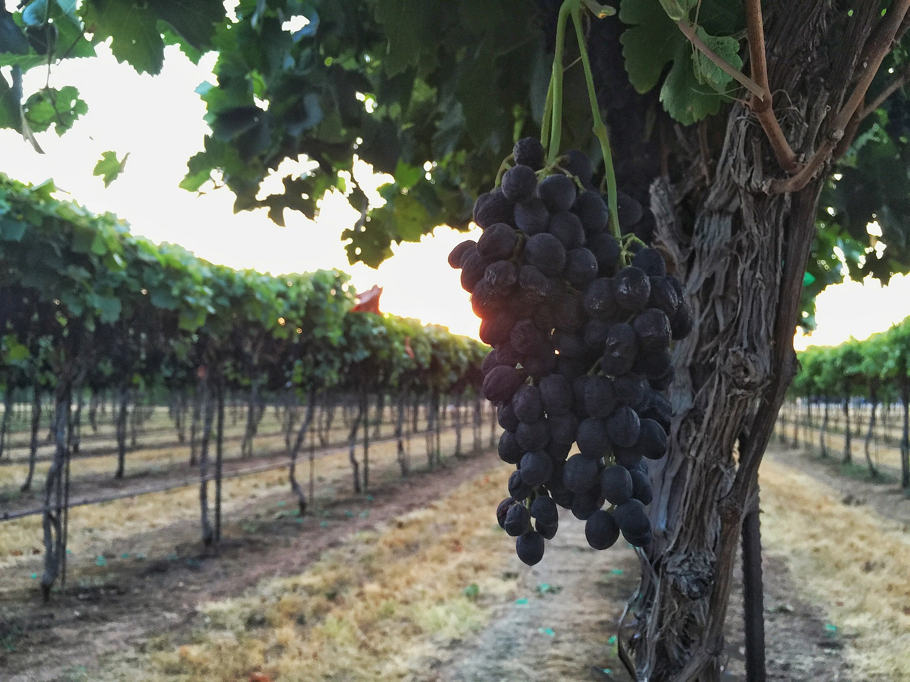 Syrah on the vine