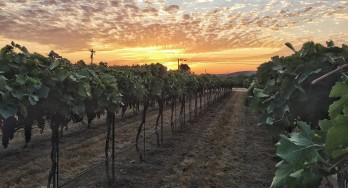 Volunteering at a Grape Harvest – Perissos