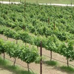 24th Annual Gulf Coast Grape Grower Field Day is Coming