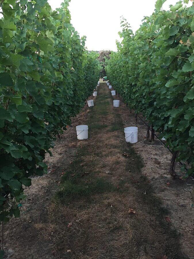 Sauvignon Blanc at Burning Daylight Vineyards_July-2014