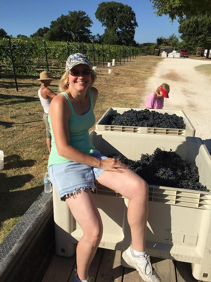 Shiraz Harvest at Lost Oak Winery_August 2015