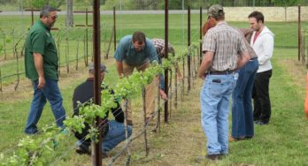 Texas Tech Vineyard