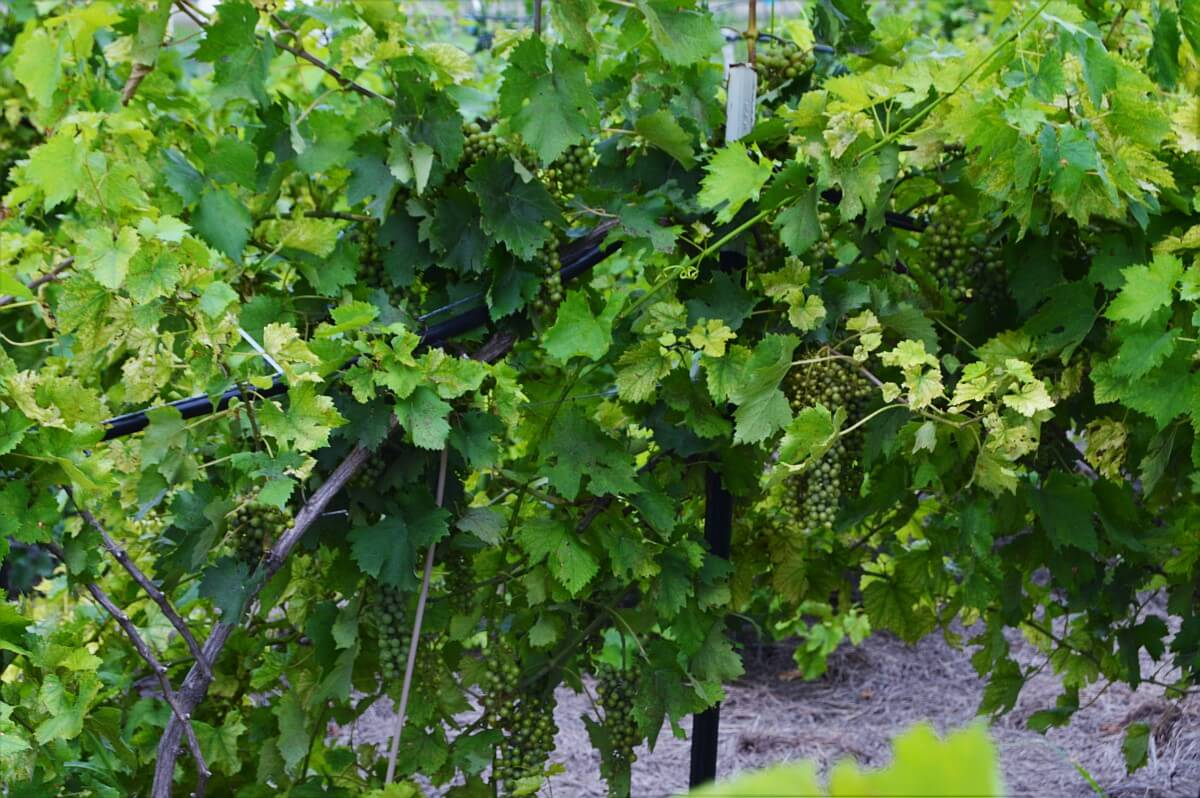 Medina River Winery vineyard