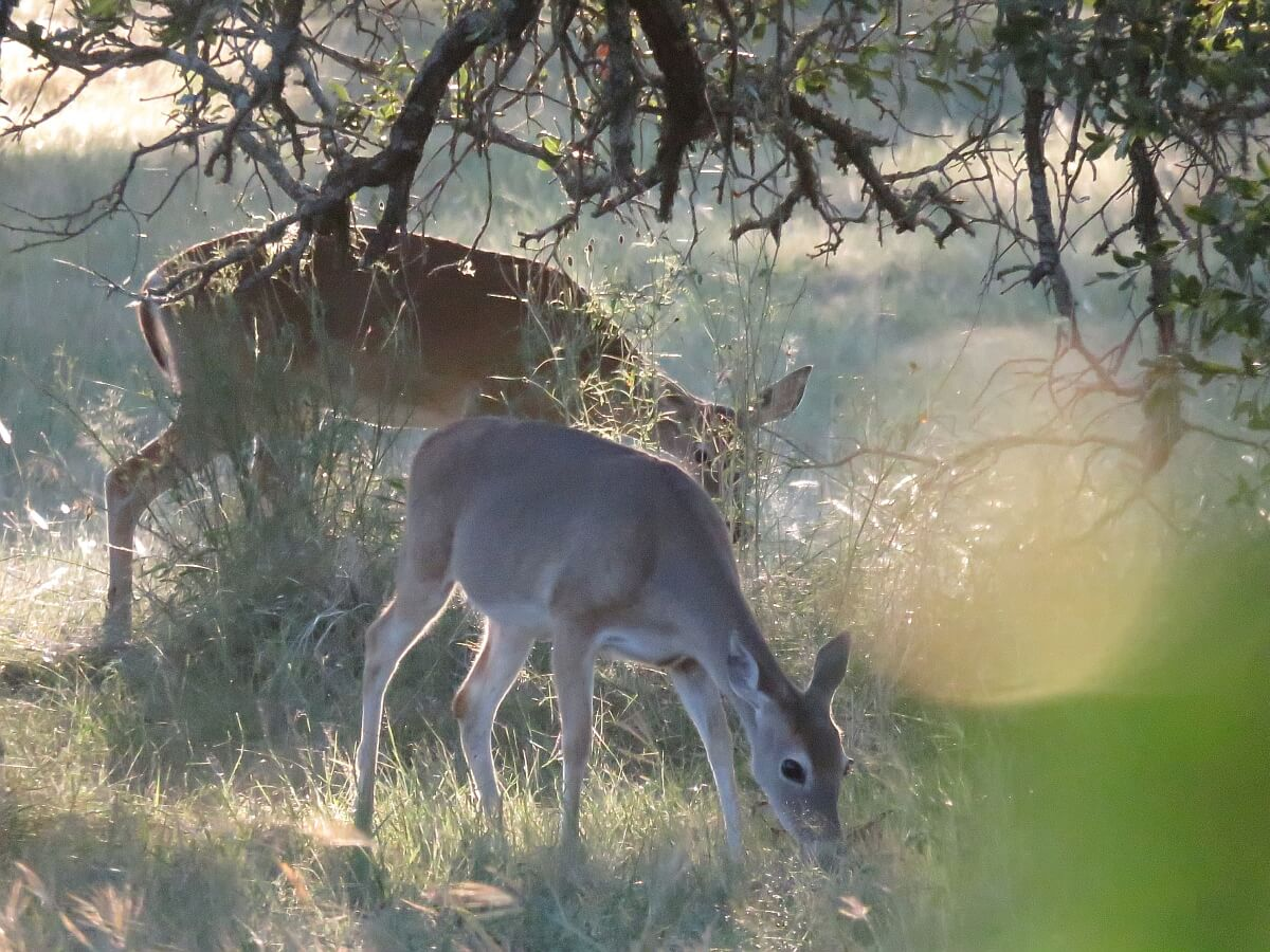 Deer eating dinner