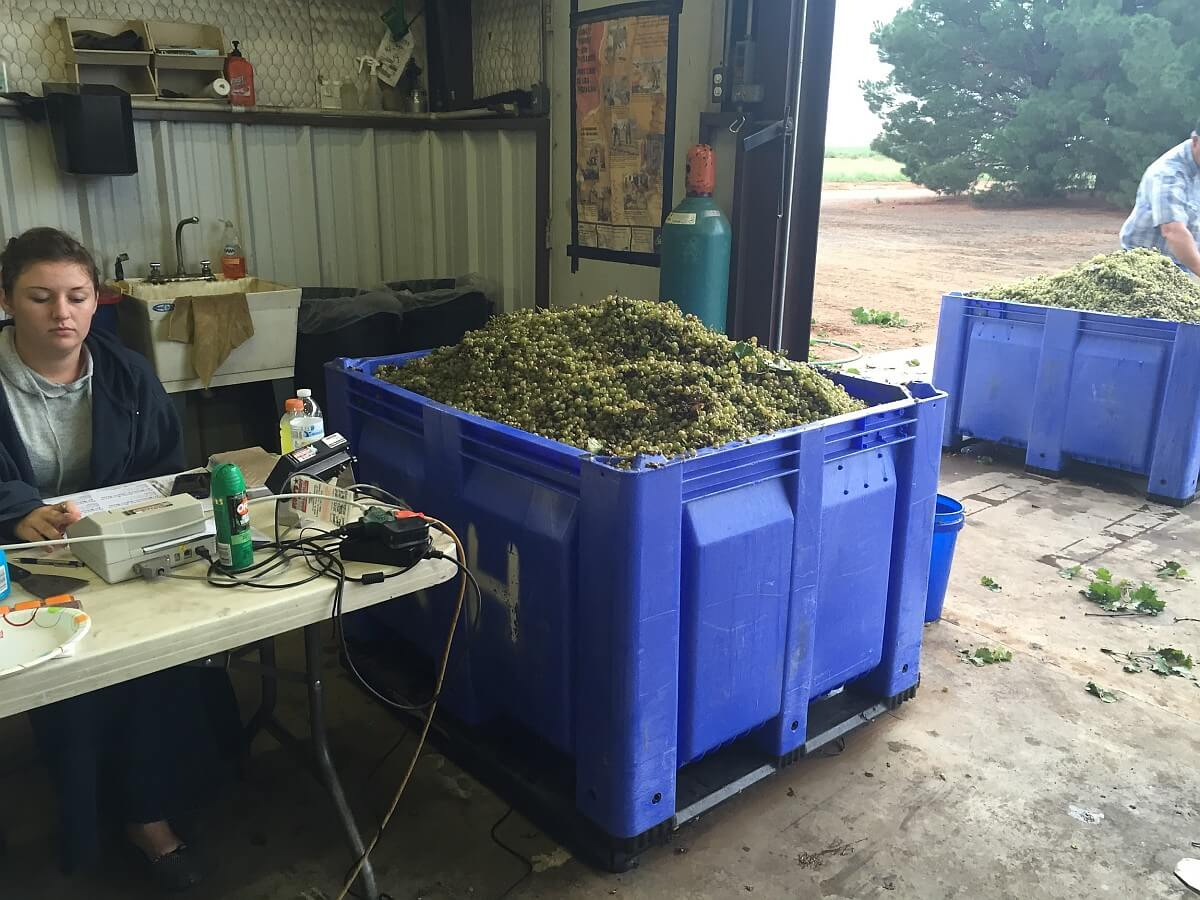 Weighing grapes