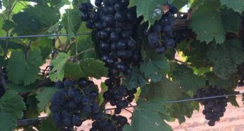 High Plains Vineyard Visits during Harvest