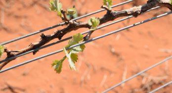 High Plains grapes budding