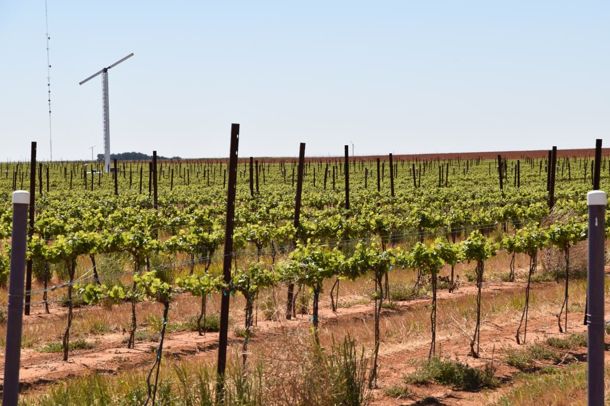 vineyard with turbine