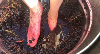 Grape Stomping in Texas 2018