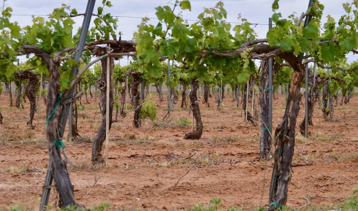 Pheasant Ridge grapevines
