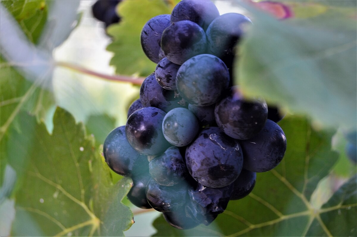 290 Vinery - Tannat grapes