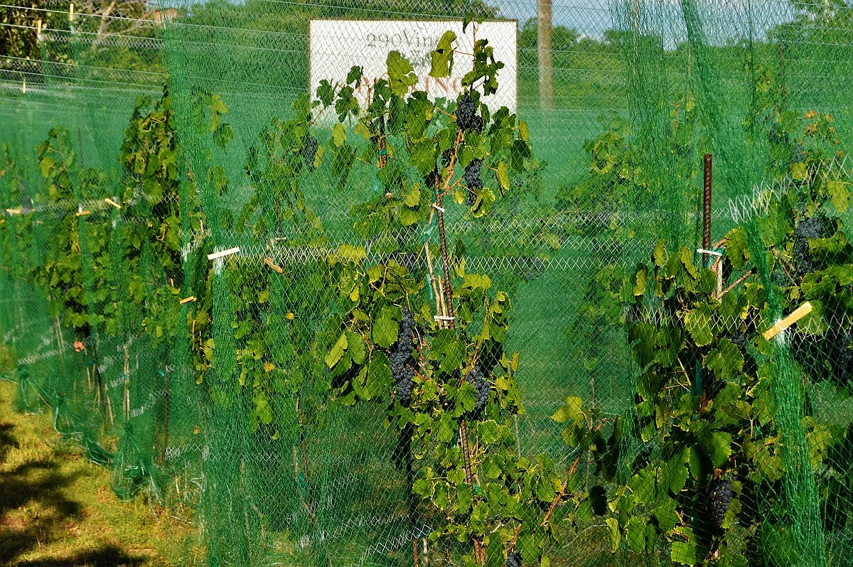 290 Vinery - Vineyard 1