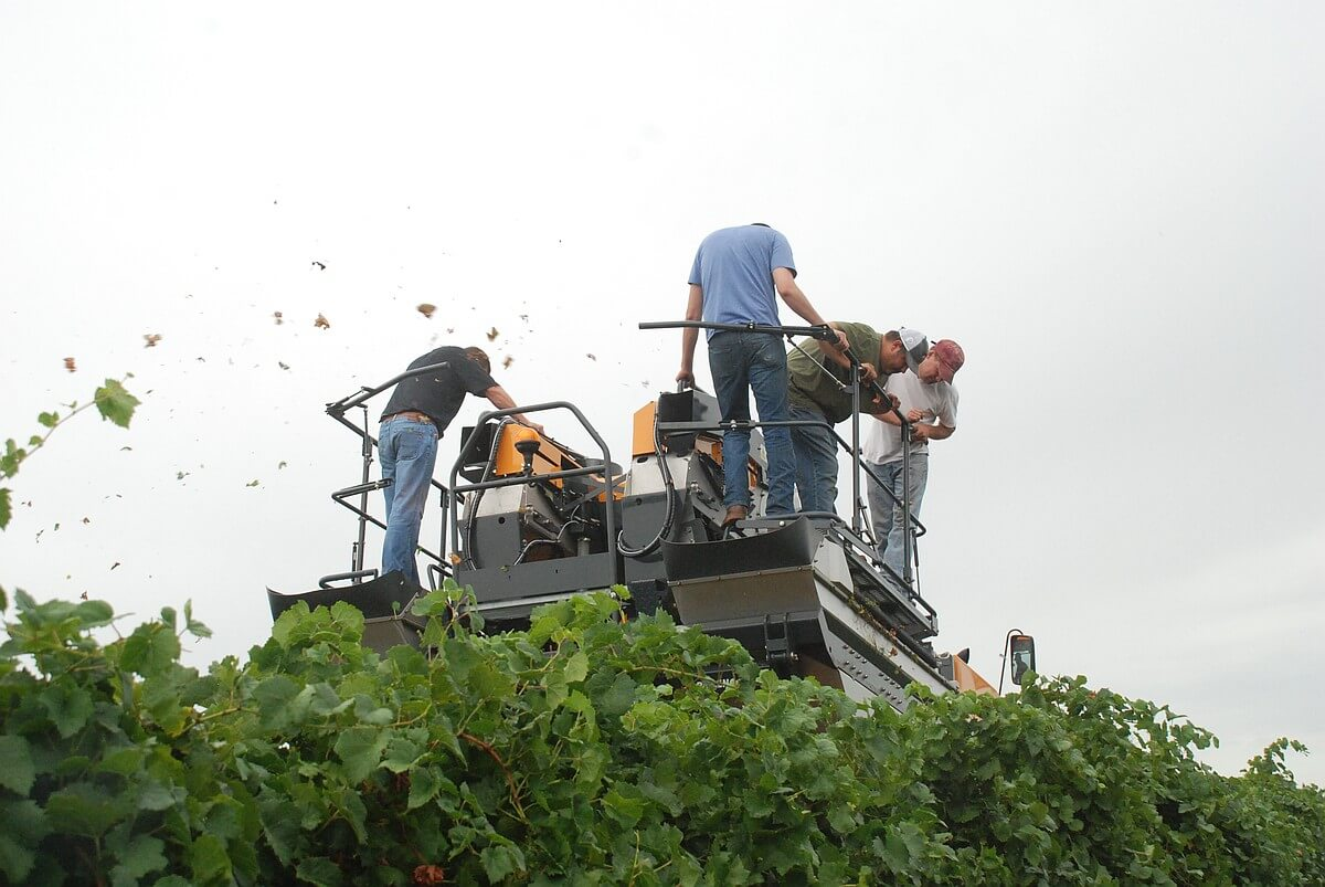 Crew at Farmhouse Vineyards ride the harvester to check out how well it is working