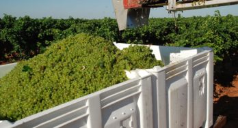Freshly harvested Albariño grapes from Castaño Prado getting ready to head to McPherson Cellars