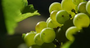 Texas Grape Spotlight – Sauvignon Blanc