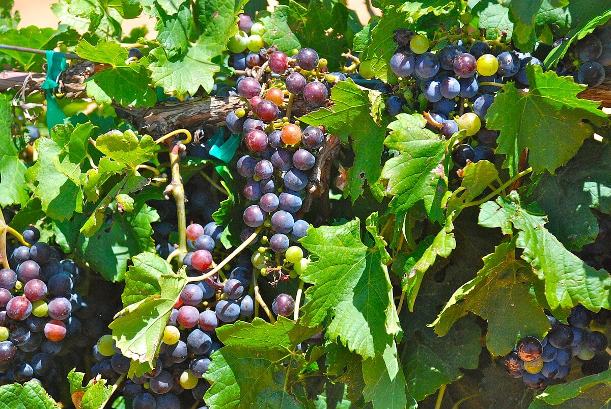 Vineyard red grapes