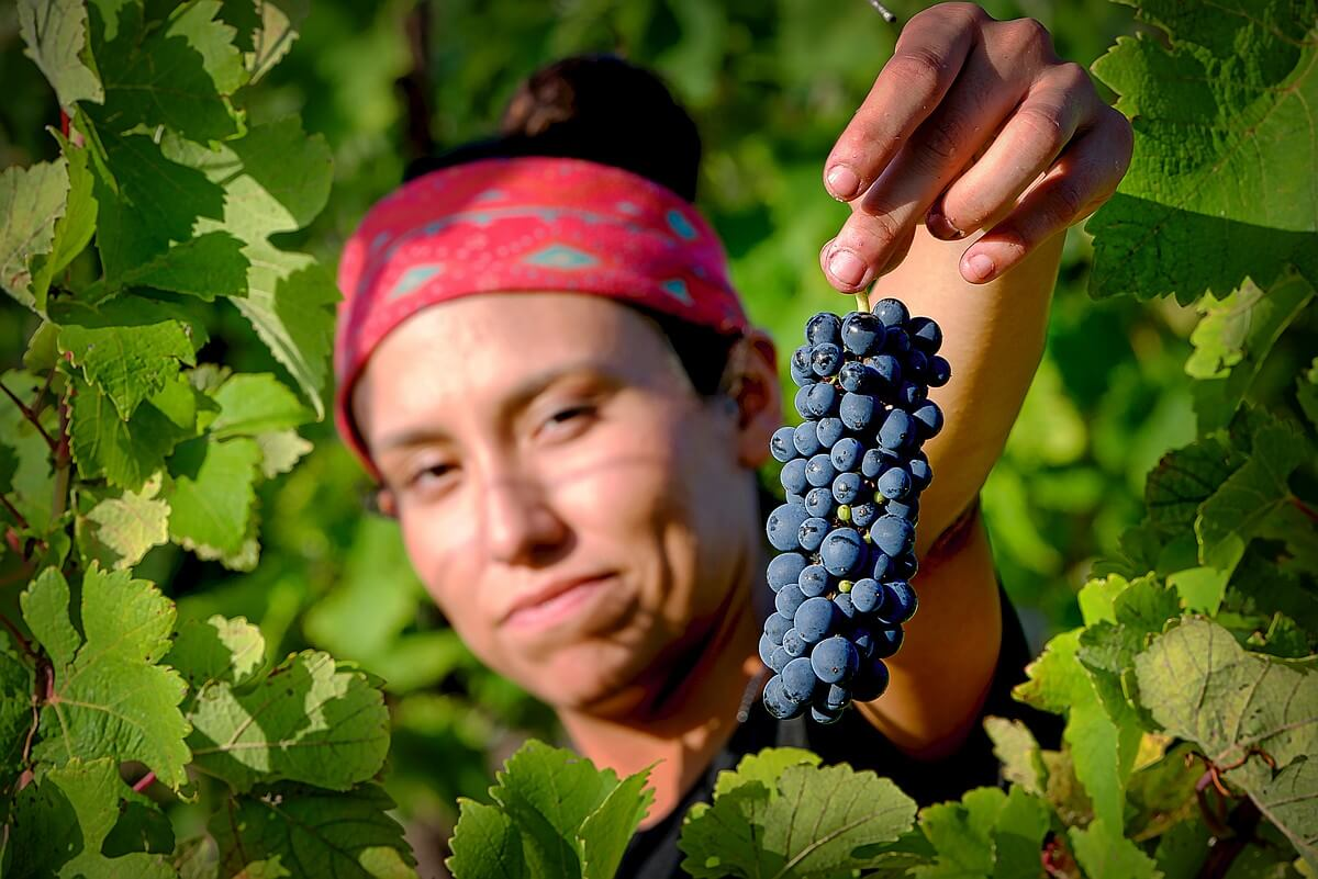 Pick of the vines, small cluster Syrah at Hawk's Shadow