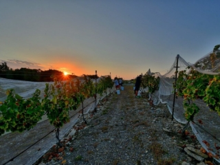 Limestone soils are a great site for Grenache vines at Hawk's Shadow