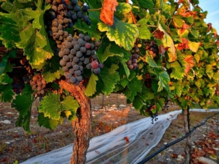 Grenache, ready for harvest at Hawk's Shadow Winery
