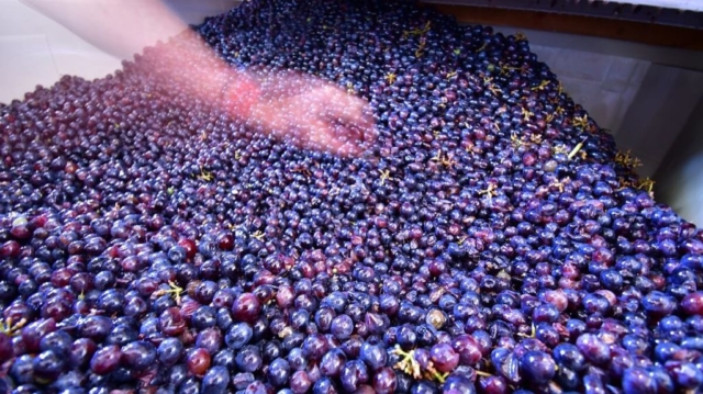 Beautifully destemmed whole berries at Hawk's Shadow
