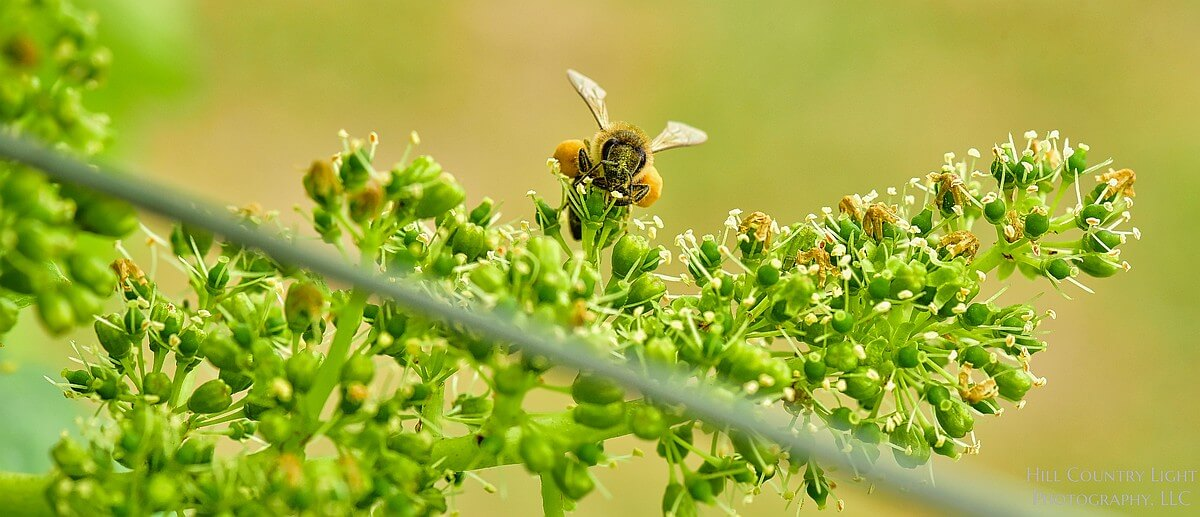 Honeybees were present at flowering and at harvest, at Hawk's Shadow