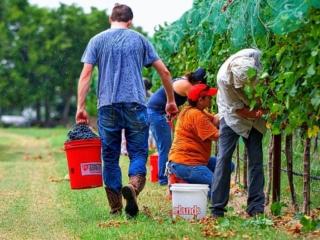 Light rain does not dampen the spirit of hand harvesting Malbec at William Chris Vineyards
