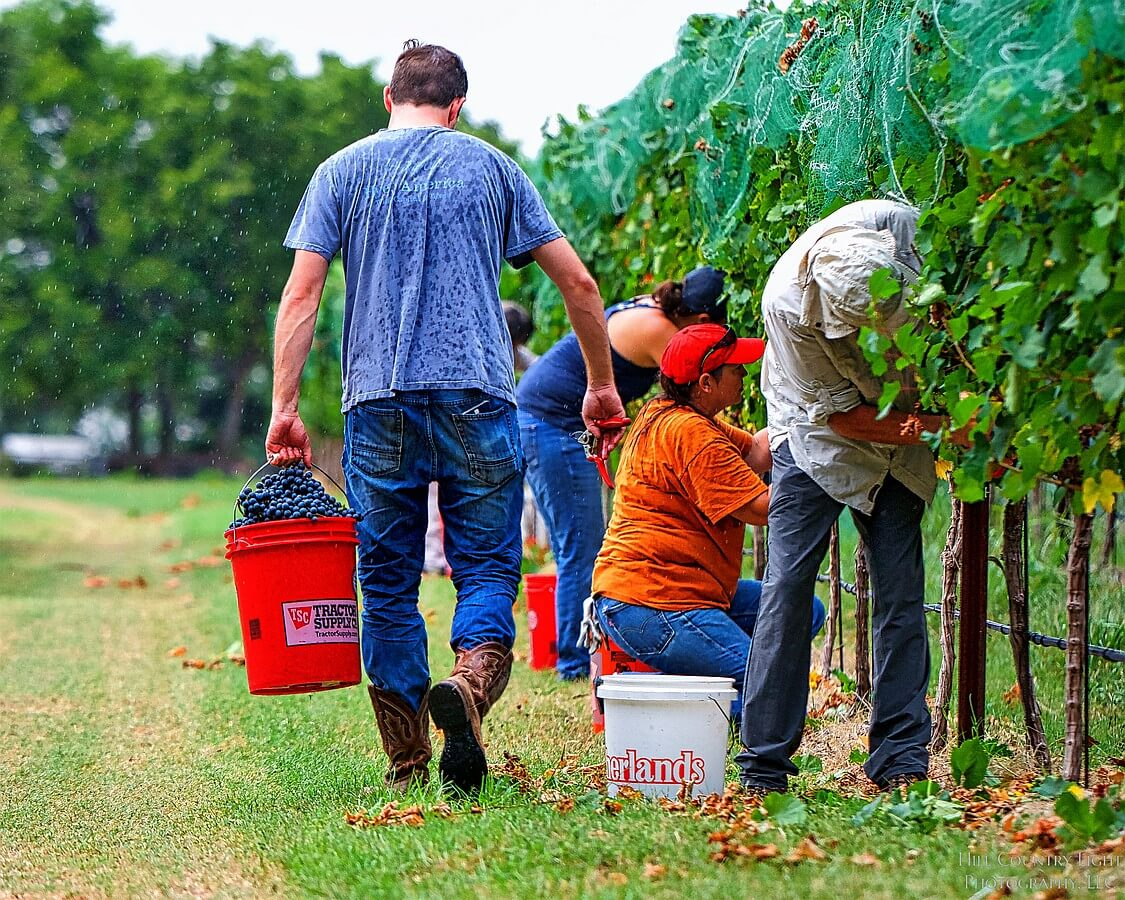Light rain does not dampen the spirit of hand harvesting Malbec at William Chris Vineyards
