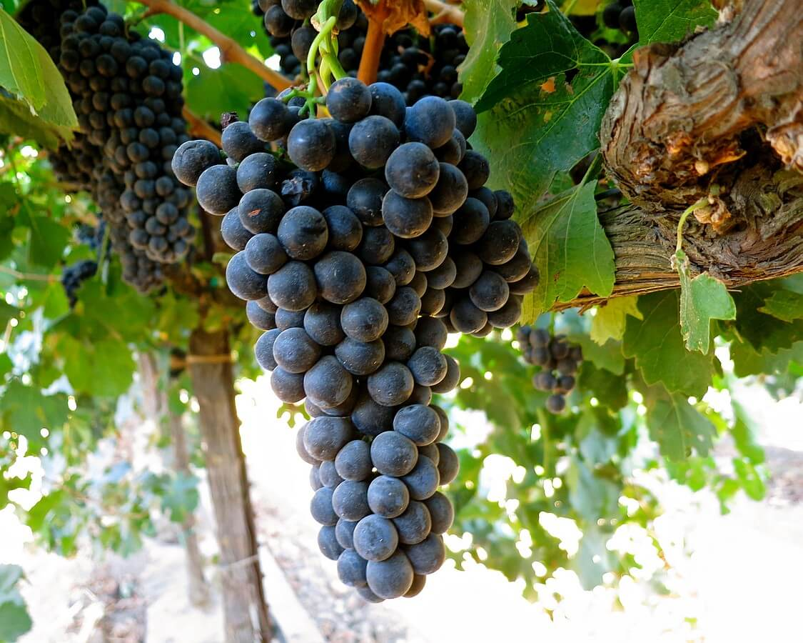 Durif grapes