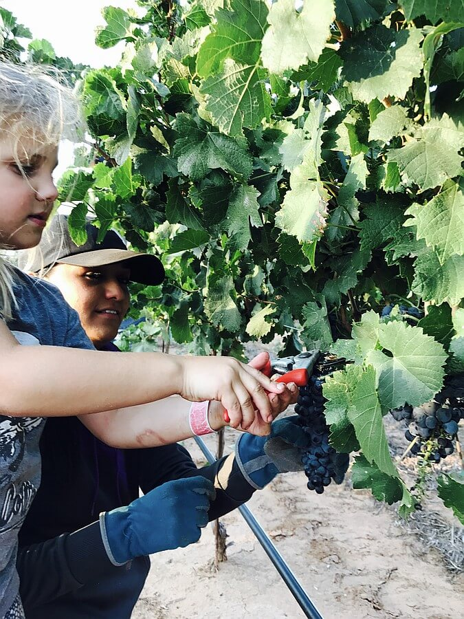 Hand Harvesting at Farmhouse Vineyards