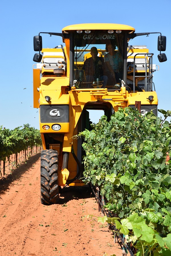 Harvesting at Alta Loma Vineyard