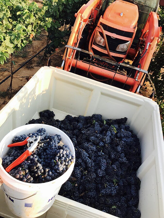 Harvesting at Farmhouse Vineyards
